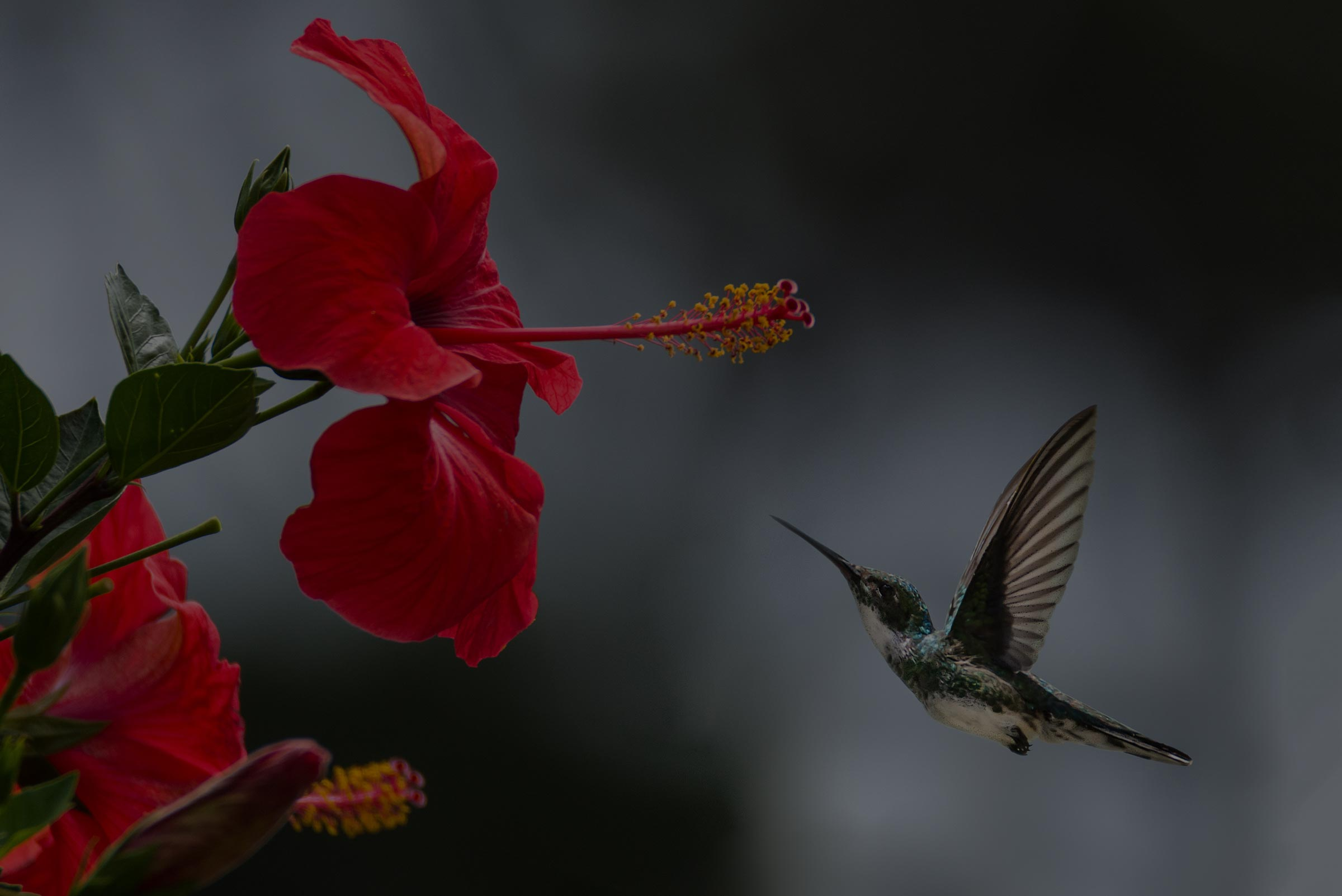 The Western Hummingbird Partnership